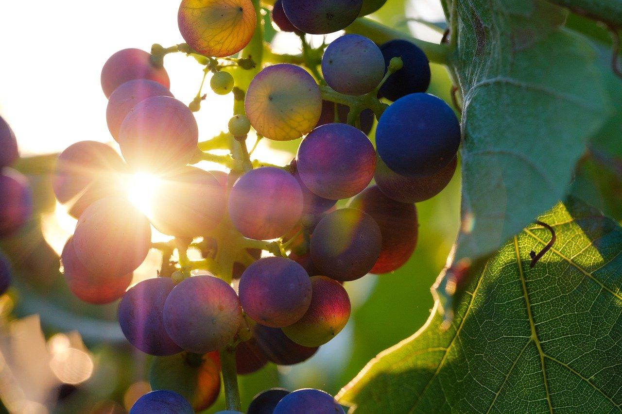 吃葡萄能帮我减肥吗?